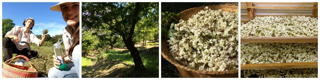 cueillette_jardins_acacia_Mazet_plantes