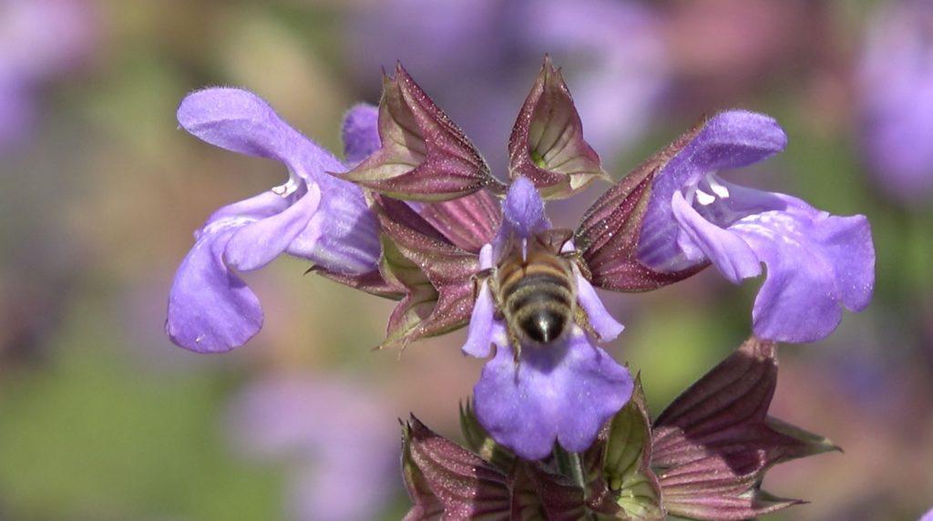 abeille_pollinisatrice_sauge